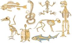 Squelettes_de_vertébrés.jpg